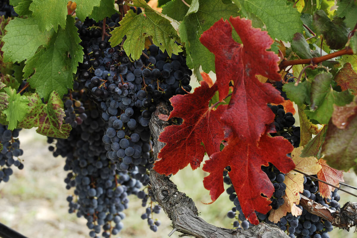 Vineyards - Photo by Artware